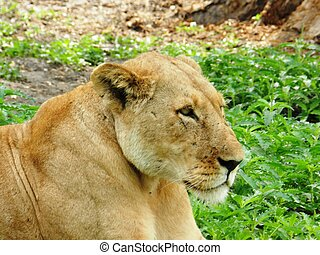 beau, closeup, savane, adulte, lionne africaine