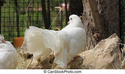 beau, colombe, blanc, pigeon