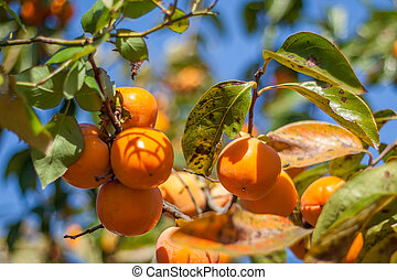 beau, couleur, fruits, orange, persimmon, tas