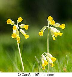beau, cowslips, fleurs, closeup