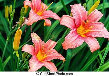 beau, croissant, jardin, daylilies