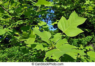 beau, décoratif, feuilles, arbre, forme, vert, érable