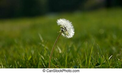 beau, dandelion.