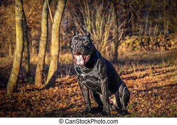 beau, dog., canne, corso., ensoleillé, jour automne