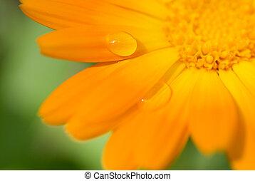 beau, drop), fleur, dof, c'est, (shallow, foyer, eau, pétales, gouttes