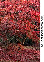 beau, entiers, couleur, arbre, japonaise, automne, acer, ...