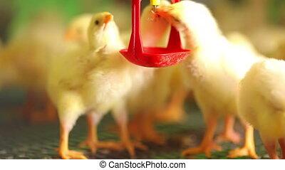 beau, ferme, poulets