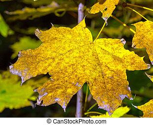 beau, feuilles automne, coloré
