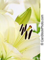 beau, fleur blanche, closeup, daylilies.