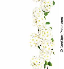 beau, fleur blanche, isolé