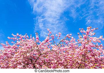 beau, fleur, cerisier, japonaise, mai