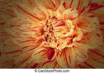 beau, fleur, chrysanthème, macro, résumé, haut, pétales, fond jaune, bande, fin, rouges