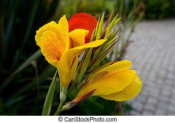 beau, fleur exotique, canna, coloré, closeup.