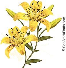 beau, fleur, lilies., fond jaune, vector.