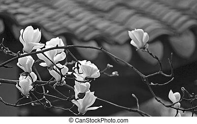 beau, fleur, magnolia, frais, blanc, odeur