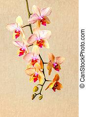 beau, fleur, phalaenopsis, fond, closeup, beige, fleurir, brindille, composition, orchidée