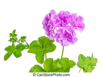 beau, fleur, pourpre, feuilles, géranium, vert, fleurir