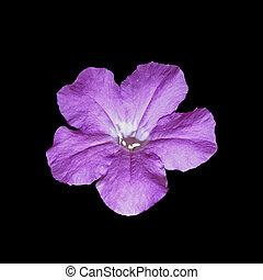 beau, fleur, pourpre, isolé, arrière-plan noir