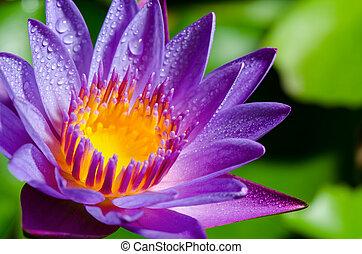 beau, fleur pourpre, lotus