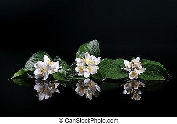 beau, fleur, reflet, sur, jasmin, noir, frais