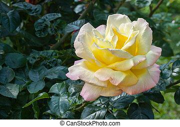 beau, fleur, rose.