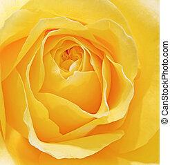 beau, fleur, sprring, rose, haut, frais, vibra, macro, fin