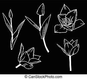 beau, fleur, tulipe, ensemble, arrière-plan noir, contour