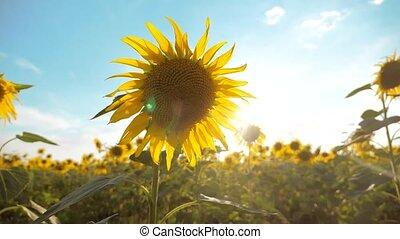 beau, -, fleurs, biomass, jaune, agriculture, bleu, paysage., lent, tournesol, agriculture., champ ciel, helianthus, lot, agriculture, huile, collection, fond, video., style de vie, grand, concepts, mouvement