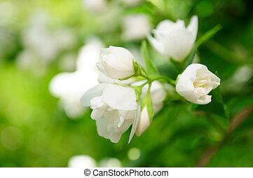 beau, fleurs blanches, jasmin, arbrisseau