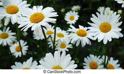 beau, fleurs, camomille