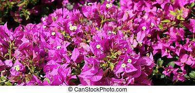 beau, fleurs, fleur, fond, violet