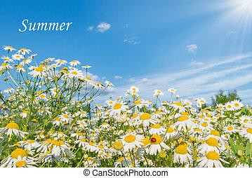 beau, fleurs, pâquerette, meadow.