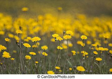 beau, fleurs ressort, pissenlit