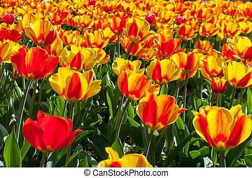 beau, fleurs ressort, tulipes