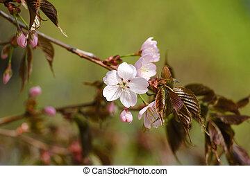 beau, fleurs, sakura