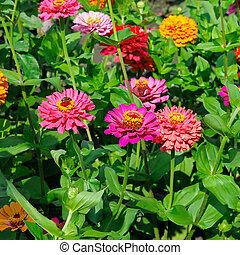 beau, fleurs, zinnias, fond