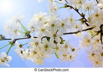 beau, floraison, branche arbre, fleurs blanches