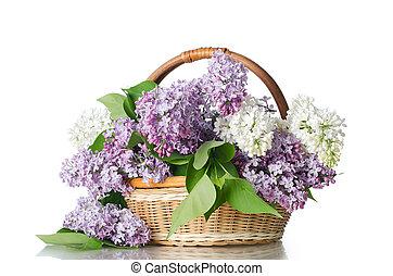 beau, fond blanc, isolé, lilas