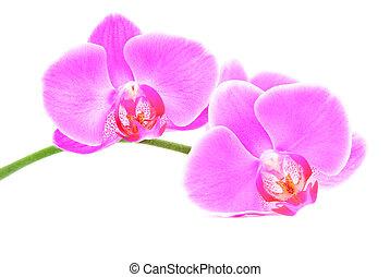 beau, fond, trois, isolé, rose, branche, blanc, orchidées
