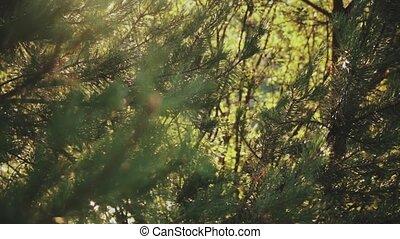beau, forest., gros plan, nature, ensoleillé, sapin, day., aiguilles, branche, paysage, vue