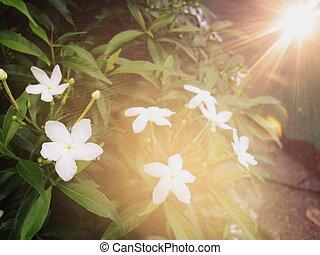 beau, frais, fleur, jasmin, jardin