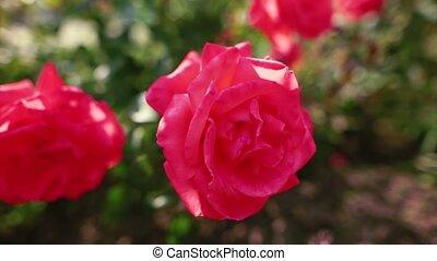 beau, garden., ensoleillé, day., roses, rouges