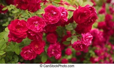 beau, garden., foyer sélectif, roses