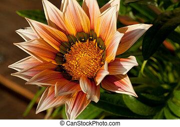 beau, gazania, fleur