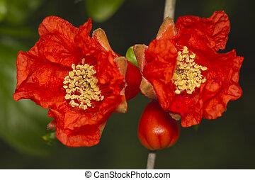 beau, grenade, fleurs, rouges