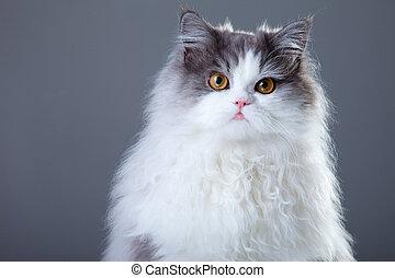 beau, gris, jeune, gris, persan, fond, portrait, chat blanc