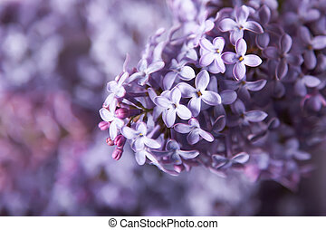 beau, gros plan, fleurs, lilas