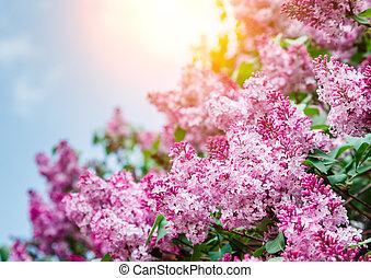 beau, gros plan, lilas, surprenant, fleurs, vue