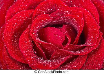 beau, image, rose, eau, macro, gouttes, rouges