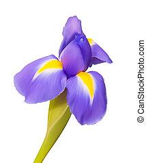 beau, iris, fleur, nature, dessin, vecteur